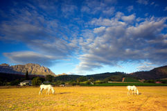 Vineyards Of Stellenbosch Wine Region Outside Of Cape Town South Royalty Free Stock Photos