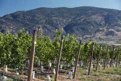 Vineyards in Okanagan Royalty Free Stock Image