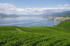Vineyards in Okanagan Valley. Vineyards on the Naramata Bench overlooking Okanagan Lake in British Columbia Stock Photos