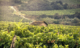 Vineyards with Old House Royalty Free Stock Image