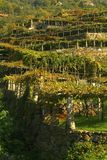 Vineyards on the old road called Via Francigena. stock image