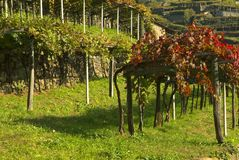 Vineyards on the old road called Via Francigena. stock photo