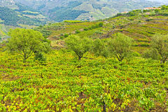 Vineyards and Olive Groves Stock Photography