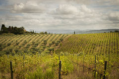 Vineyards and Olive Groves in Tuscany Stock Image