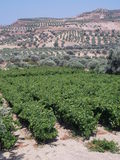 VINEYARDS AND OLIVE TREES stock photos