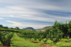 Vineyards and Orchards in Osoyoos Royalty Free Stock Photography