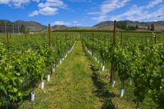Vineyards and orchards. Osoyoos, B.C. Stock Photo