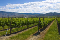 Vineyards and orchards. Osoyoos, B.C. Stock Photography