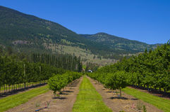 Vineyards and orchards. Osoyoos, B.C. Royalty Free Stock Images