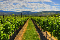 Vineyards and orchards. Osoyoos, B.C. Stock Image