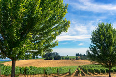 Vineyards in Oregon. View of vineyard in Dundee, Oregon Royalty Free Stock Photos
