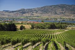 Vineyards by Osoyoos in Okanagan Stock Photography