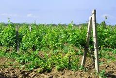 Vineyards outdoors Royalty Free Stock Image