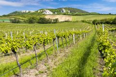 Vineyards, Palava, Moravia region, Czech Republic. Outdoor, outside, exterior, exteriors, europe, western, nature, natural, botany, flora, growth, vegetation stock photos