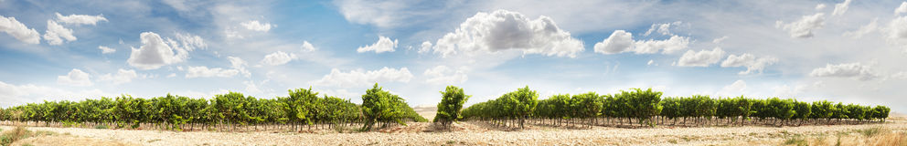 Vineyards panoramic image Royalty Free Stock Photo