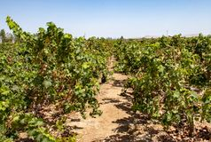 Vineyards of Paracas, Peru. Vineyards near Paracas, Peru mostly used in the production of Pisco, the Peruvian national drink stock images