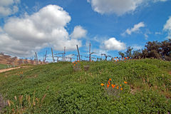 Vineyards in Paso Robles Wine Country Scenery with California Golden Poppies in foreground Royalty Free Stock Photography
