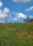 Vineyards in Paso Robles Wine Country Scenery with California Golden Poppies in foreground Royalty Free Stock Image