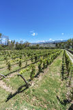 Vineyards in Payogasta in Salta, Argentina. Stock Images
