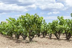 Vineyards in Penedes wine area. Catalonia, Spain royalty free stock photo