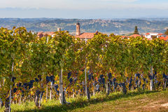 Vineyards of Piedmont, Italy. Royalty Free Stock Images