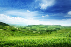 Vineyards in Piedmont, Italy. Green vineyards in Piedmont province, Italy, Europa Stock Photography