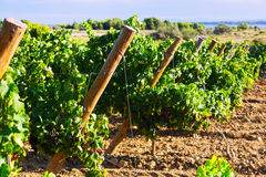 Vineyards plan Royalty Free Stock Photography