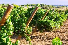 Vineyards plan in sunny august day Royalty Free Stock Image