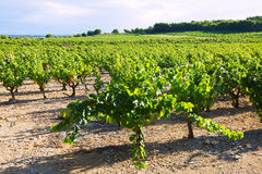 Vineyards plantation in  summer day Royalty Free Stock Image