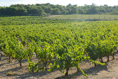 Vineyards plantation in sunny august day Stock Photos