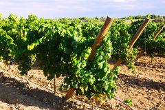 Vineyards plantation in sunny  day Royalty Free Stock Photo