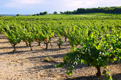 Vineyards plantation in sunny  day Stock Photo