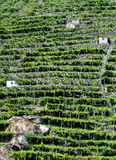 Vineyards, Pont Saint Martin (Italy) Royalty Free Stock Images