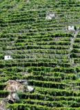 Vineyards, Pont Saint Martin (Italy) Royalty Free Stock Images
