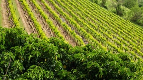 The Vineyards of Provence Royalty Free Stock Photos