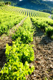 Vineyards, Provence Royalty Free Stock Images
