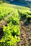 Vineyards, Provence. Vineyards near Gigondas, Provence, France royalty free stock images