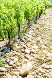 Vineyards, Provence, France Stock Photography