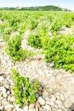 Vineyards, Provence, France Stock Image