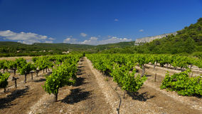 Vineyards in Provence Royalty Free Stock Image