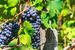 Vineyards in the Province of Cuneo, Piedmont, Italy.  stock photography
