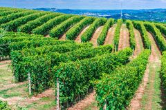 Vineyards in the Province of Cuneo, Piedmont, Italy.  stock images