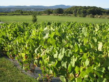Vineyards in Quebec, Canada Stock Image