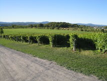 Vineyards in Quebec, Canada Stock Photo