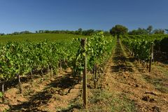 Vineyards, Tuscany, Italy. Vineyards with red grapes in southern Tuscan region - Italy royalty free stock photography