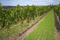Vineyards Rhine Hessia Germany with blue vine shortly before har Royalty Free Stock Image