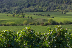 Vineyards in Rhineland Palatinate Royalty Free Stock Photos