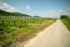 Vineyards in Rhineland Palatinate in early summer Royalty Free Stock Photography