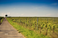 Vineyards in Rhineland Palatinate in early summer Royalty Free Stock Photo