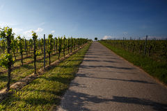 Vineyards in Rhineland Palatinate in early summer Royalty Free Stock Image